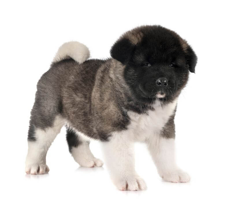How Much Is An Akita Dog Puppy