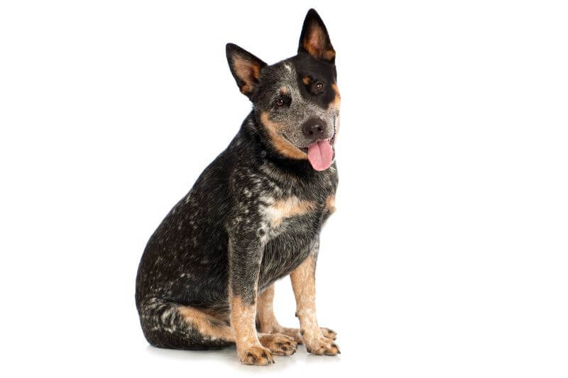 Australian Cattle Dog Cost Puppy Adult With Calculator Petbudget Pet Costs Saving Tips
