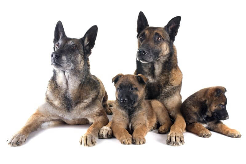 Belgian Malinois Cost A Complete Guide With Calculator Petbudget Pet Costs Saving Tips