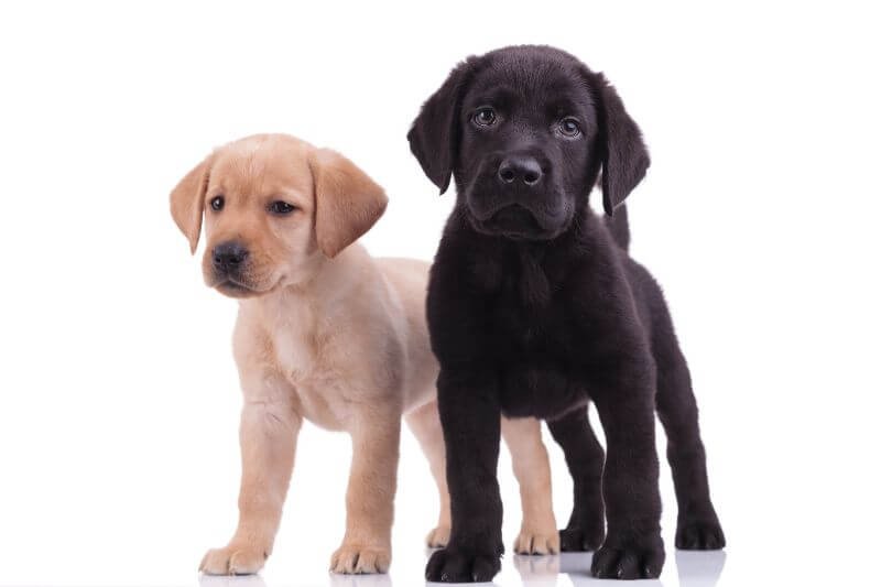 20 Popular Puppies You Can Buy For 1 000 Or Less In The Us Petbudget Pet Costs Saving Tips
