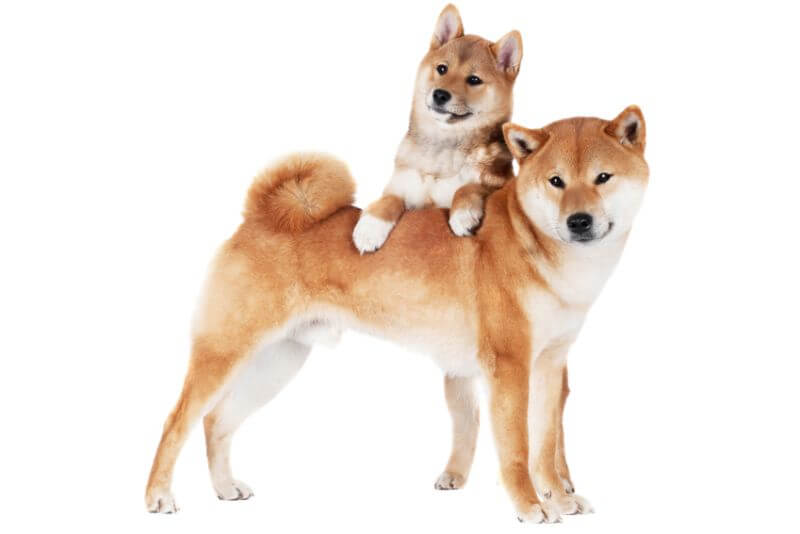 The Cost of Shiba Inu Puppies & Adult Dogs (with Calculator) – PetBudget | Pet Costs & Saving Tips