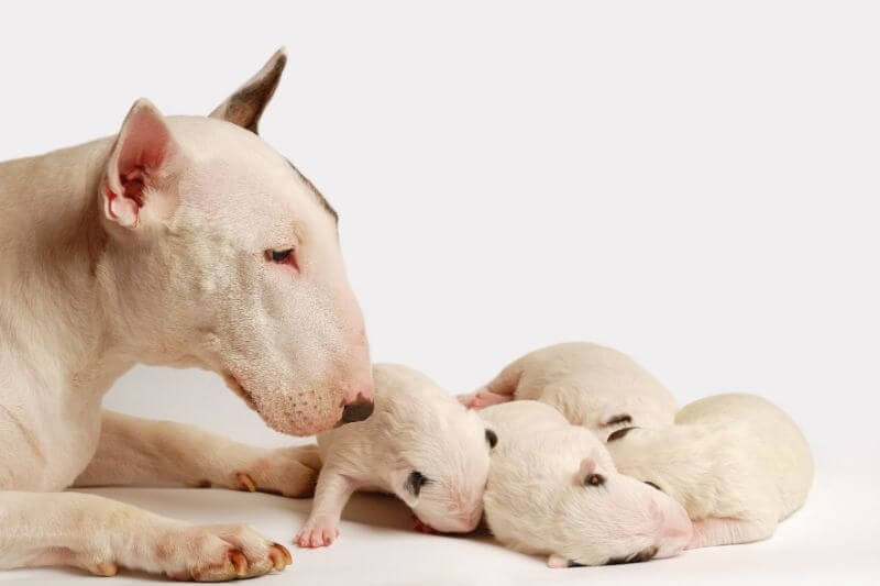 The Miniature Bull Terrier Cost Guide With Calculator Petbudget